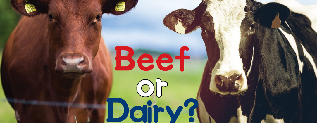 Beef or Dairy